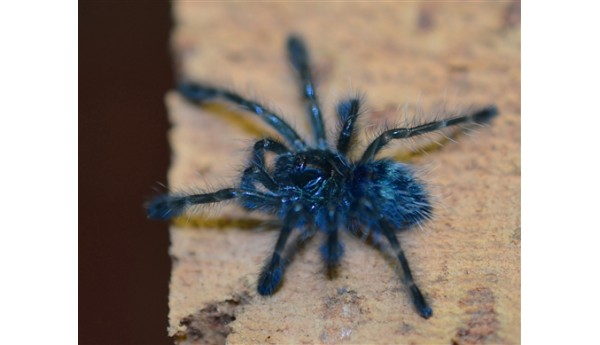 "Special: Caribena versicolor (Martinique pinktoe) 1/2"" & Arboreal Spiderling Enclosure"