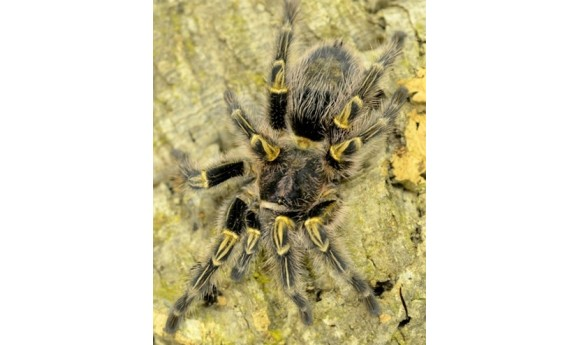 "Special: G. pulchripes (Chaco golden knee) 1/2- 3/4"" & Terrestrial Spiderling Enclosure"