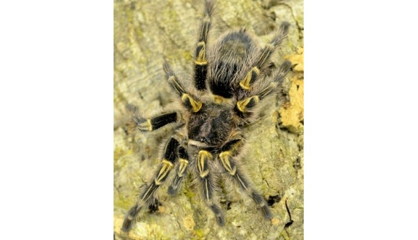 """Special: G. pulchripes (Chaco golden knee) 1/2"""" & Terrestrial Spiderling Enclosure"""