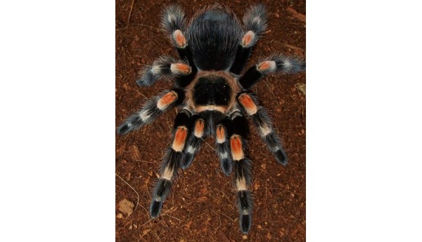 "Special: Brachypelma smithi/hamorii (Mexican Red Knee) 1/3-1/2"" & Terrestrial Spiderling Enclosure"