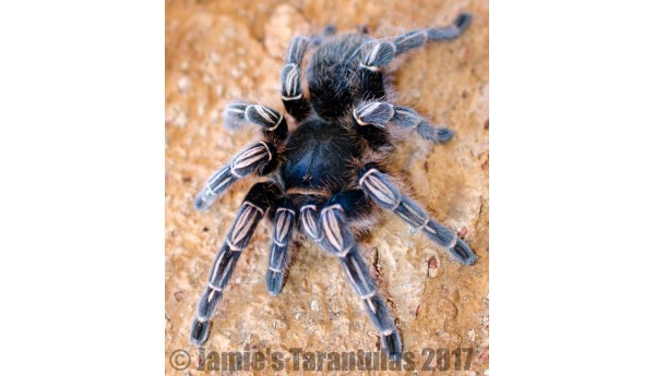 Aphonopelma seemanni  (Costa Rican Stripe Knee) MATURE MALE #425