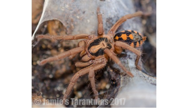 "Special: Hapalopus sp. Colombia ""Pumpkin Patch Large"" 1/4-1/3"" & Terrestrial Spiderling Enclosure"