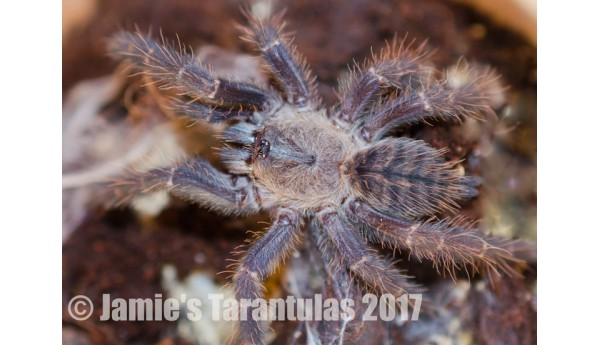 """Special: Cyriopagopus sp. Hati Hati 3/4-1"""" & Terrestrial Spiderling Enclosure"""