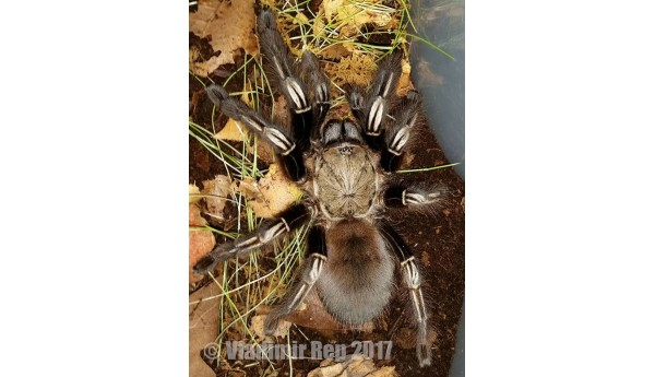 """Ephebopus murinus (Skeleton Tarantula) 3/4-1"""""""