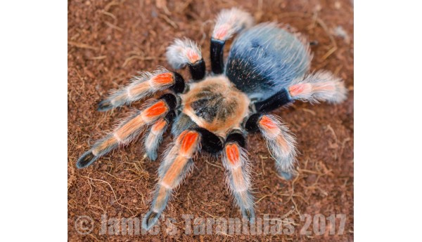 "Brachypelma baumgarteni (Mexican Orange Beauty) 3/4-1"" #668"