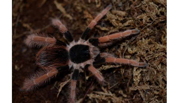 "Megaphobema robustum (Colombian Giant Red-leg) 3"" female #106J"