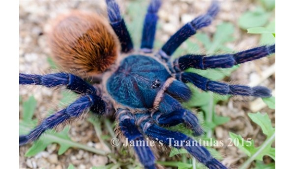 "Chromatopelma cyaneopubescens (Green bottle blue ""GBB"") 2 1/2""+ SUSPECT MALE #H-36b"