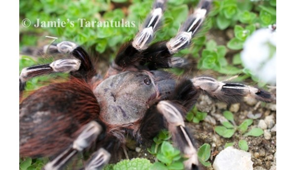 "Nhandu chromatus (Brazilian White Striped Birdeater) 1 1/2-2"" FEMALE #274"
