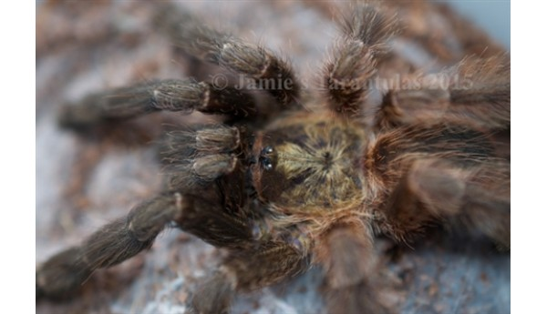 "Psalmopoeus reduncus (Costa Rican Orange Mouth) 1""**"