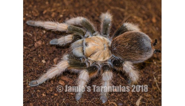 "Aphonopelma chalcodes Sp. ""New River Rust Rump"" (Arizona Blonde) 3-4"" FEMALE #AC-1"