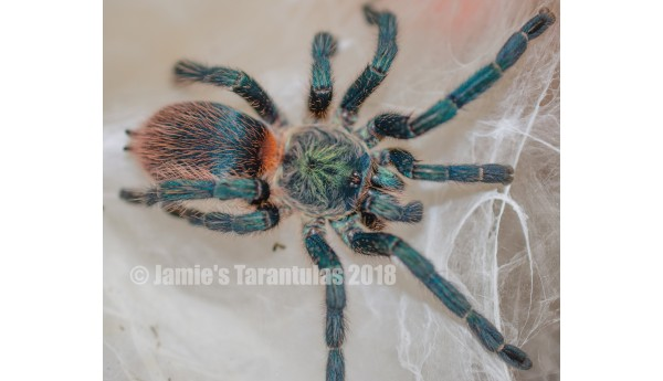 "Special: Dolichothele diamantinensis (Brazilian Blue Dwarf Beauty) 1/2"" #739a & Terrestrial Spiderling Enclosure"