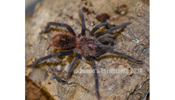 "Xenesthis immanis (Colombian Lesserblack) 2 1/2-3"" FEMALE #39"