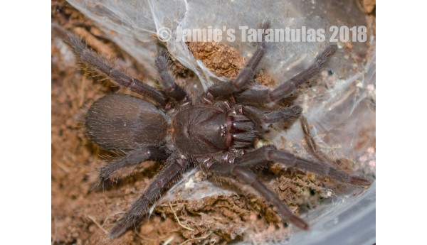 "Chilobrachys famous (formerly sp. Black Satan) 3-3 1/2"" mature male #H-15"