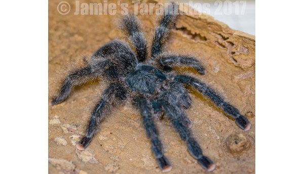 "Avicularia sp. Kwitara River 5""+ FEMALE  #457"
