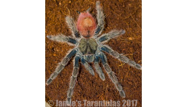 "Thrixopelma ockerti (Flame Rump Tree Spider) 1/2- 3/4"" #569"
