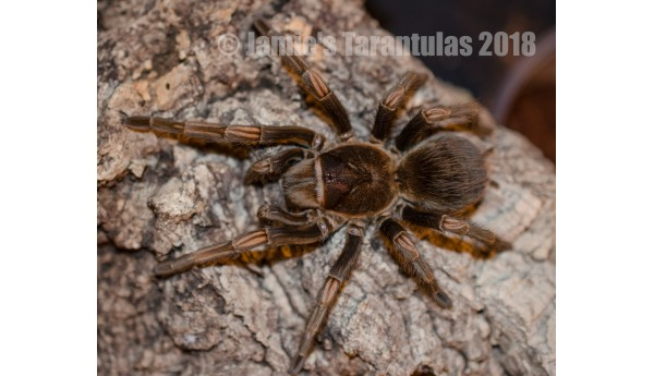 "Lasiodorides striatus (Peruvian Goliath Orange Stripe) 3-3 1/2"" MALE #31GF"