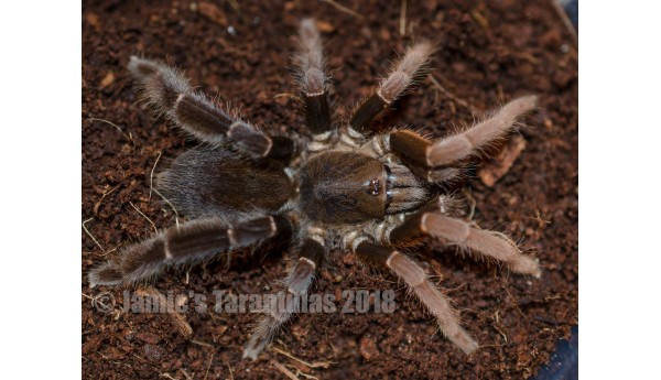 "Lyrognathus giannisposatoi 2 1/2"" FEMALE #24GF"