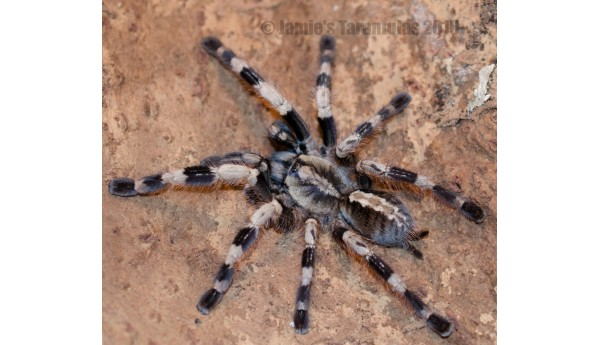 "Poecilotheria miranda (Bengal spotted) 3 1/2-4"" FEMALE #2s"