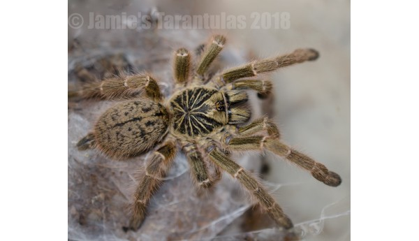 "Pterinochilus murinus (Typical Color Form ""TCF"") 1 1/4"""