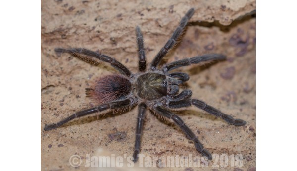 "Phormictopus platus 2 1/2-3"" FEMALE #NB-1"