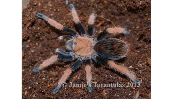 Aphonopelma bicoloratum (Mexican Blood-Leg) 1/3-1/2""