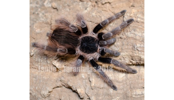 "Nhandu carapoensis (Brazilian Red) 3-4"" MALE #Z-31"