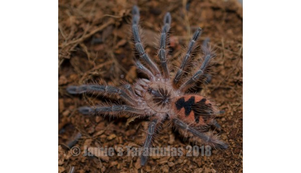 "Pamphobeteus sp. Machala 2"" MALE #Z-27"
