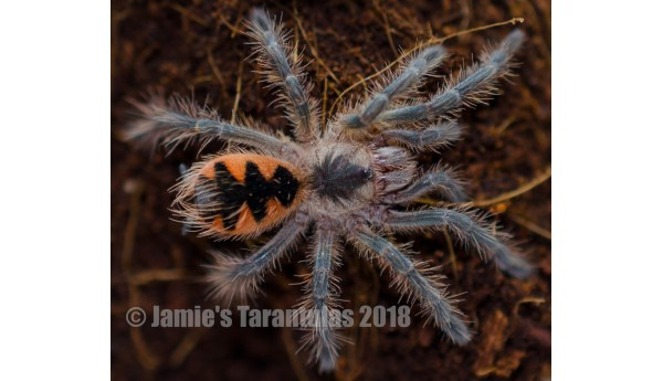 "Pamphobeteus platyomma (Brazilian Pink Bloom Birdeater) 1-1 1/4-1 1/2"" #Z-28"