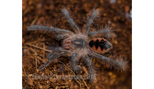 "Pamphobeteus sp tigris 3 1/2"" MALE"