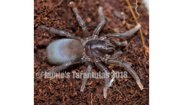 Sahydroaraneus raja (Indian Blue Dwarf) 1/2""