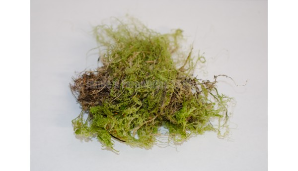 Green Tree Moss - Pacific Northwest - Quart