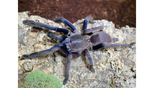 "Chilobrachys dyscolus (Vietnam Blue) 3-4"" FEMALE #i-6"