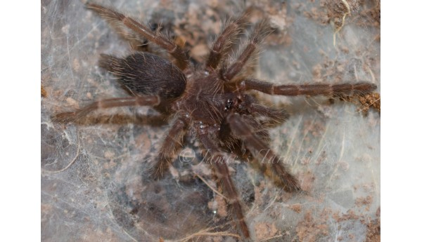 "Orphnaecus sp. 'blue' (Panay Island, Philippines) 1/2-3/4"" S-511"
