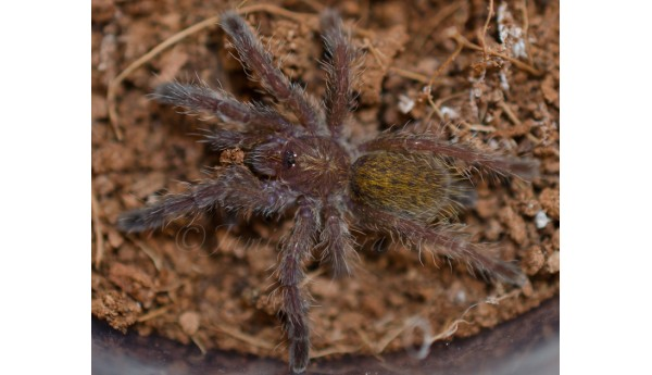 "Pterinochilus murinus (Dark Color Form ""DCF"") 3/4"""