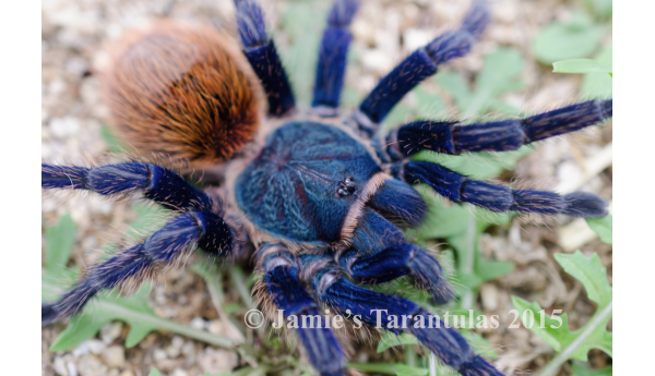 "Special: C. cyaneopubescens (Green bottle blue) 1/2-3/4"" & Terrestrial Spiderling Enclosure"