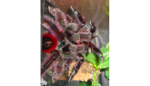 "Caribena versicolor (Martinique Pink Toe) 2 1/2-3"" FEMALE #H-20**"