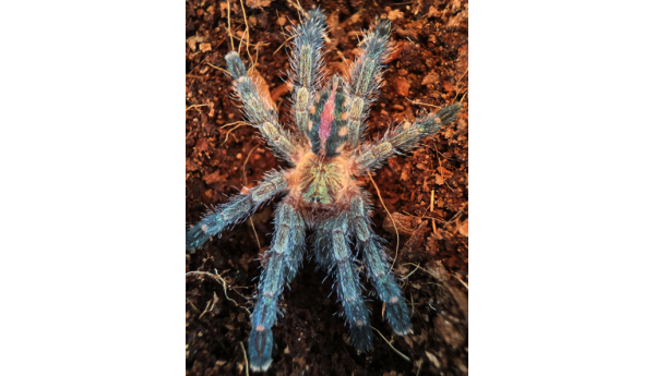 "Special: Ybyrapora diversipes (Amazon Sapphire Pink-toe) 1/2"" #806g & Arboreal Spiderling Enclosure Kit"