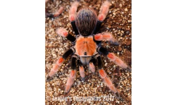 "Brachypelma boehmei (Fire Leg Tarantula) 3/4"""