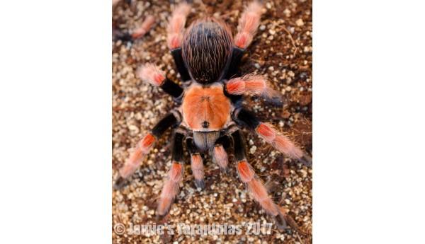 "Brachypelma boehmei (Fire Leg Tarantula) 1 3/4-2""  FEMALE #D-3**"
