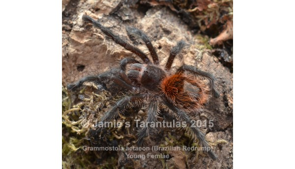 "Grammostola actaeon ( Brazilian Redrump) 2-3"" SUSPECT MALE #726"