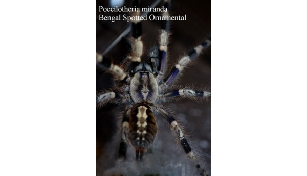 "Poecilotheria miranda (Bengal spotted) 1 1/4-1 3/4"" #852m"