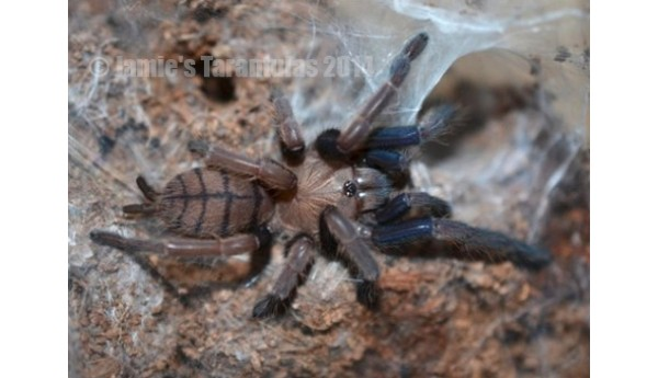Chilobrachys fimbriatus (Indian Violet) 1/2-3/4""