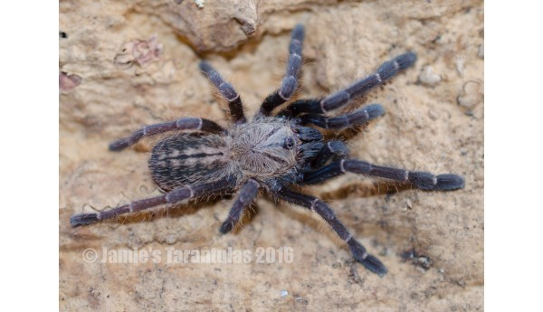 "Haplopelma Sp. Bach Ma 3"" FEMALE #R-3"
