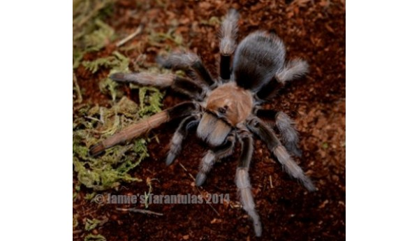 "Aphonopelma chalcodes  (Arizona Blonde) 3-4"" FEMALE #AC-2"