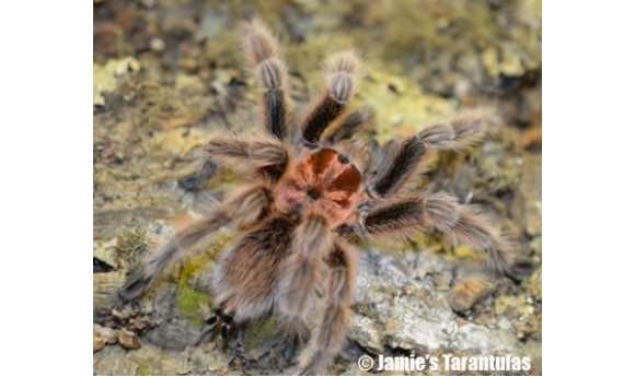 "Grammostola porteri (Rose hair - Pink color form) 1/2-3/4""+ #563"