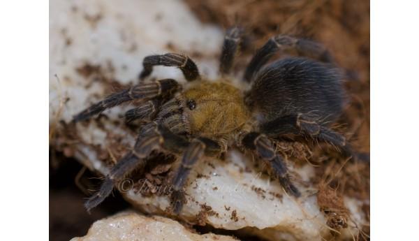 Pseudhapalopus trinitatis (Trinidad Copper Top) 3/4-1 **