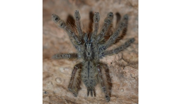 Stromatopelma calceatum (Feather Leg Baboon)  1/2""